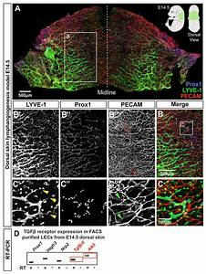 Tgf U03b2 Signaling Is Required For Sprouting Lymphangiogenesis