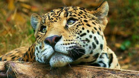 1920x1080-jaguar-Wallpaper-hd-06