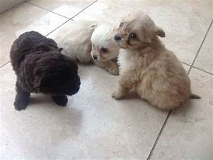 Tiny Poo - Chi Pupps | Houghton Le Spring, Tyne and Wear ...