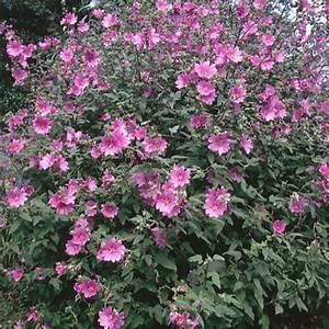 Rosier Tige Pas Cher : plante longue floraison fleurs vivaces longue floraison fleurs vivaces longue floraison ou ~ Dallasstarsshop.com Idées de Décoration