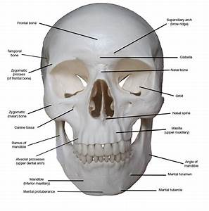 Kreated By Krause  Artistic Anatomy Part 1  Frontal Skull