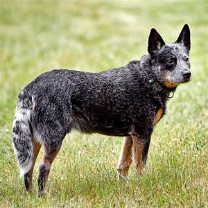 Australian Cattle Dog Breed Guide - Learn about the ...