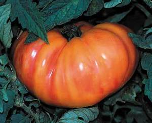 11 best Tomatoes 2015 season images on Pinterest