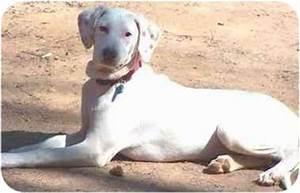 Simone | Adopted Dog | Pittsboro/Durham, NC | Dalmatian ...