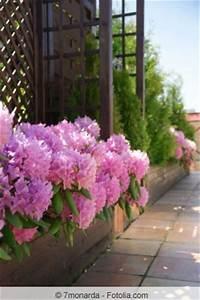 Rhododendron Blüht Nicht : rhododendron pflege schneiden krankheiten berwintern ~ Frokenaadalensverden.com Haus und Dekorationen