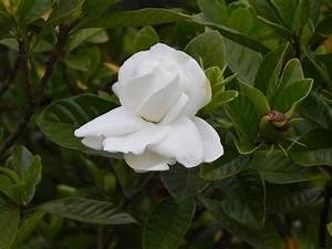 Gardenia Jasminoides Pflege : gardenia jasminoides wikipedia ~ A.2002-acura-tl-radio.info Haus und Dekorationen