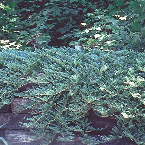 blue rug juniper for blue rug juniper blue rug juniperus horizontalis my