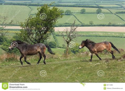 exmoor ponys ponies running field weide herde ein stockfoto