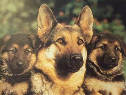 Shepherd German Wallpapers Puppy Desktop Puppies Background