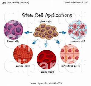 Clipart Of A Medical Diagram Of Stem Cell Applications