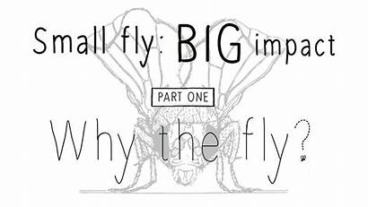 Fly Drosophila Biomedical Research Organism History Film