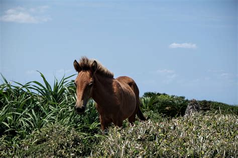 yonaguni pony horse japan breeds eight native island uma