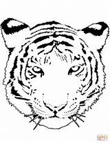 Tiger Coloring Pages Tigers Head Drawing Portrait Printable Saber Tooth Cat Cub Animal Tags Mammals Cubs sketch template