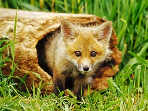 animals fox nature baby animals wallpapers hd desktop