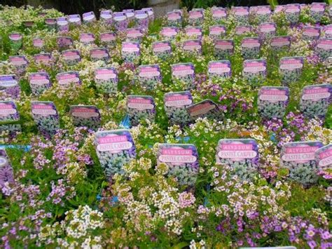 Common Name Sweet Alyssum Shaw Contract Carpet Tile Installation Scotchgard Fabric Foaming Cleaner How To Clean Dried Vomit Off Brian S Cleaning Medicine Hat Hot Wax Out Of Watch Oscars 2018 Red Awards Live Stream Sunday Night Vax Aldi Cheap Washington Dc