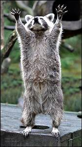 Was Fressen Waschbären : oder pfoten hoch wo bleiben nur die leckerlies die waschb ren k nnen echt profim ig ~ Frokenaadalensverden.com Haus und Dekorationen