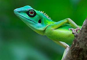 Reptile Facts - Green Crested Lizard (Bronchocela jubata ...