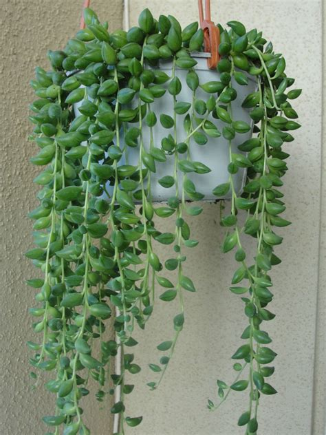 Seed Planters by Senecio Herreianus String Of Beads World Of Succulents