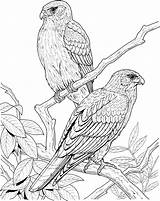 Coloring Pages Bird Birds Realistic Falcon Tree Printable Canary Animal Colouring Falcons Quality Print 1064 Excellent Trees Adult Popular Colors sketch template