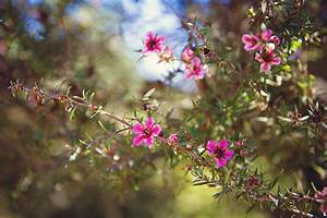 Tea Tree Flowers Photograph by April Reppucci