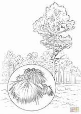 Pine Coloring Longleaf Drawing Nevada Maine Printable Tree State Getcolorings Getdrawings Willpower Surging sketch template