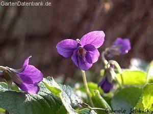 Pflanzen Bestimmen Nach Bildern : wer kann helfen lila kriechgew chs mein sch ner garten forum ~ Eleganceandgraceweddings.com Haus und Dekorationen