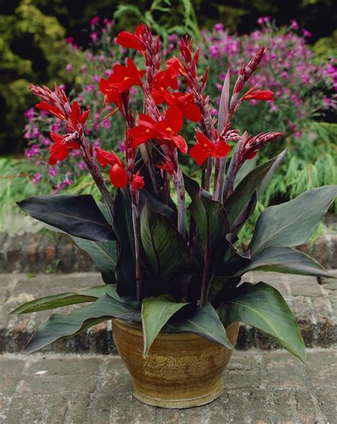 firebird green leaf canna heat tolerant great for containers and mixed borders canna