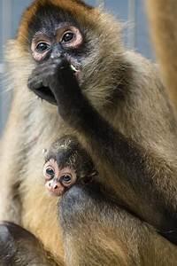 Baby spider monkey   Adorable Babies   Pinterest