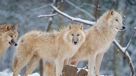 Arctic Wolf Bing Wallpaper Download