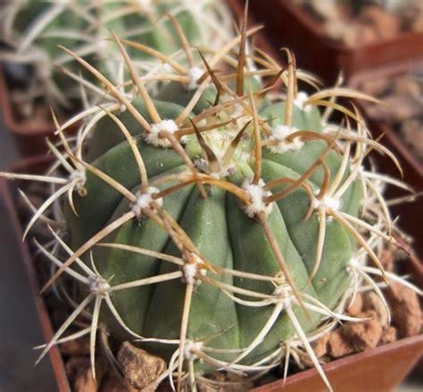 Gymnocalycium tillianum - Cactus Jungle