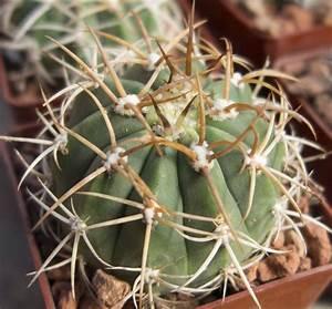 gymnocalycium tillianum cactus jungle