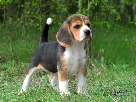 Top 10 Cutest Non Shedding Dogs by Top 10 Non Shedding Dogs Picture Non Shedding