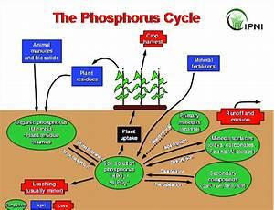 The Phosphorus Cycle  Courtesy International Plant