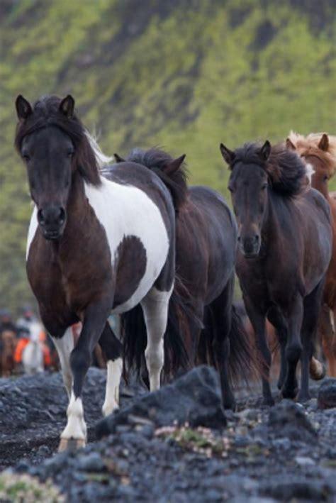 icelandic horse horses intelligent highly friendly appaloosa