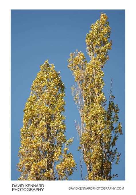 Lombardy Poplars in Autumn (II) · David Kennard Photography