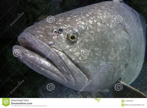 grouper giant portrait fish close