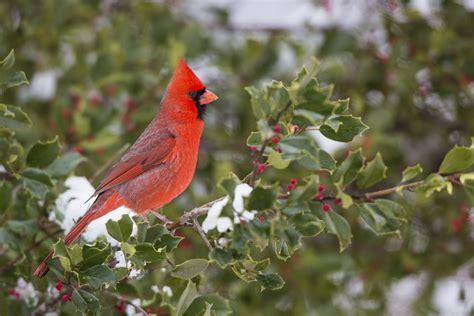 american holly facts ilex   winter solstice