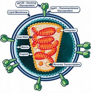 Structure Of Human Immunodeficiency Virus  Hiv