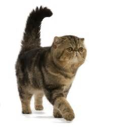 cat images shorthair royal canin