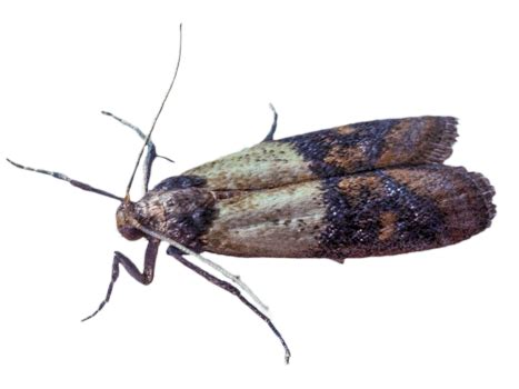 Indian Pantry Moth Indian Meal Moth Pest And Extermination Service