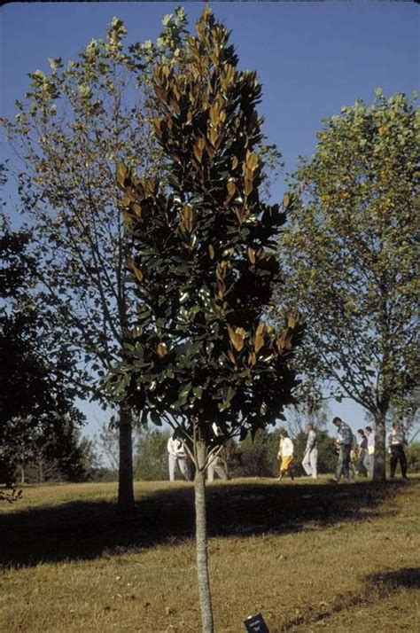 types of magnolia trees in florida hasse magnolia tree selection landscape plants edward f gilman uf ifas