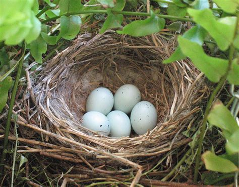 house finch nest 2 flickr photo sharing