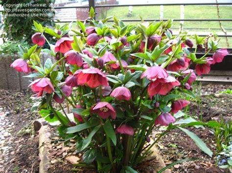 hellebores when to plant plantfiles pictures hellebore lenten rose red lady helleborus x hybridus by jamie68