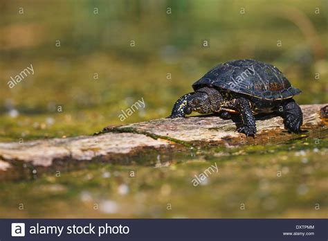 Long Necked Turtle Stock Photos And Long Necked Turtle Stock