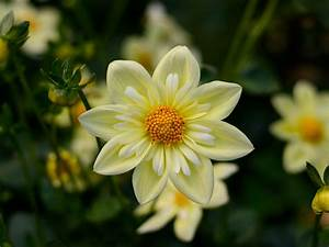Christmas Background Pink Dahlia Yellow Flowers High Quality Flower Wallpaper For