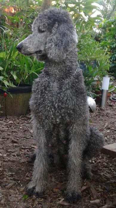 standard poodle breed description history  overview