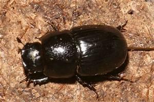 Großer Schwarzer Käfer Bilder : insektenbox gro er dungk fer 2 ~ Frokenaadalensverden.com Haus und Dekorationen