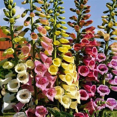 Sommerblumen Mehrjährig Winterhart by Sommerblumen Mehrj 228 Hrig Winterhart Granitplatten