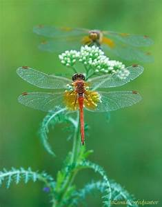 17 Best Images About All Things Dragonflies On Pinterest