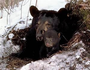 North American Bear Center - Basic Bear Facts